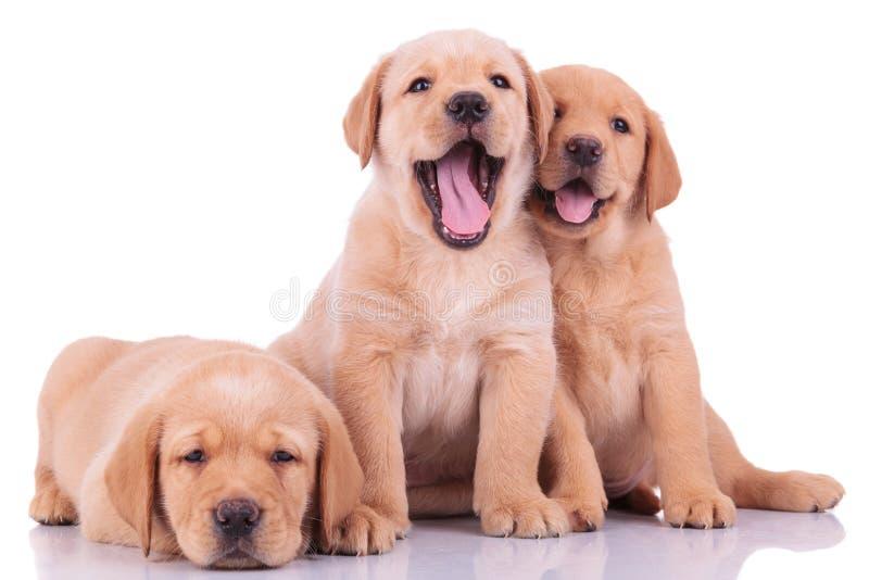 3 собаки щенка retriever labrador стоковое изображение rf