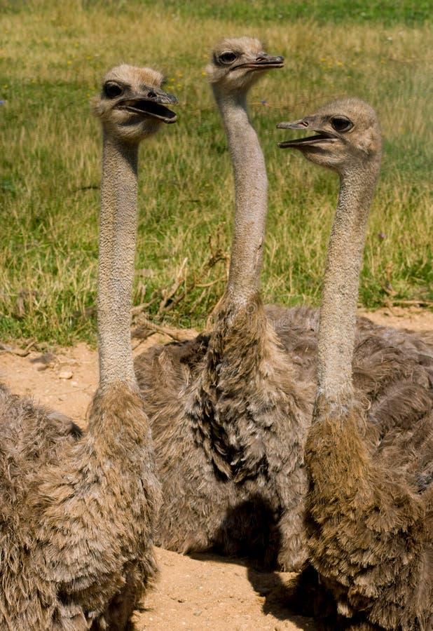 3 страуса стоковая фотография