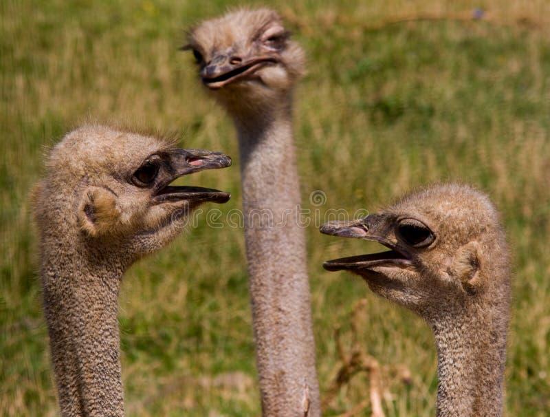 3 страуса стоковое изображение rf
