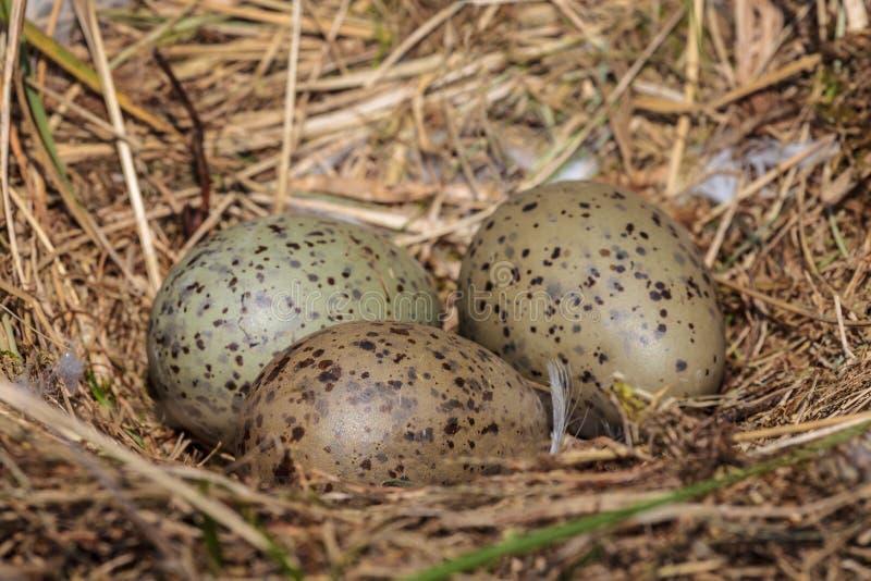 3 яичка чайки в гнезде стоковое фото rf