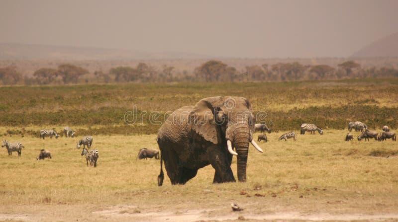 3 04 Amboseli Elli. Obrazy Royalty Free