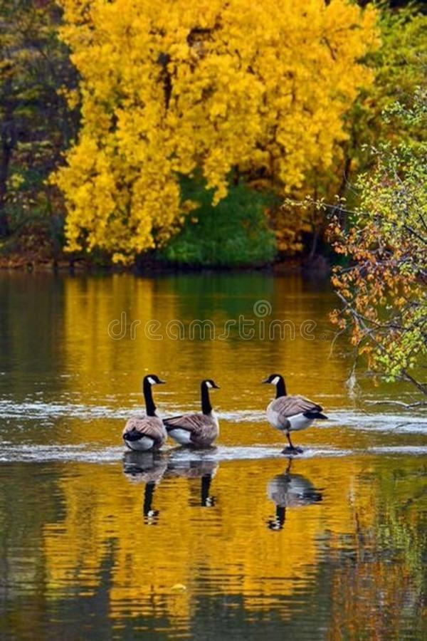 3 гусыни Канады в мелком реке