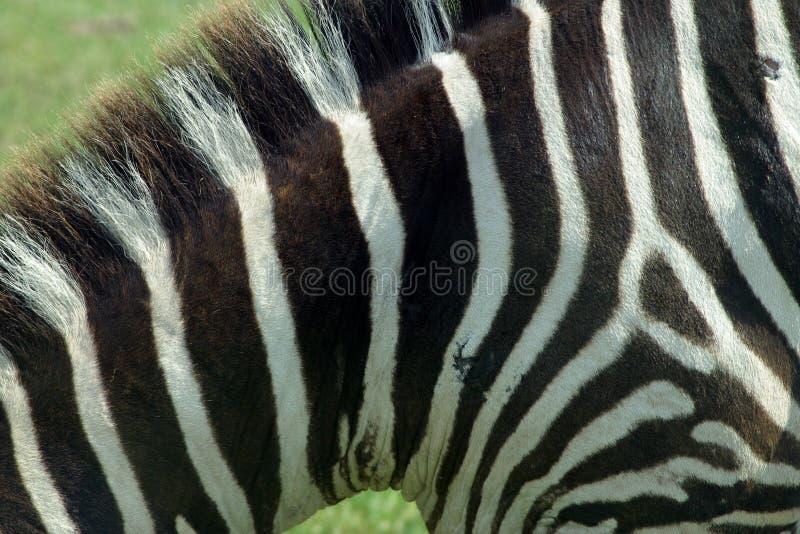 3纹理斑马 免版税库存照片