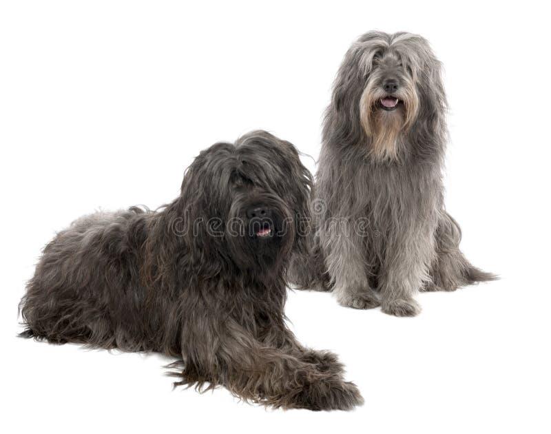 3 6 catalan gammala sheepdogår royaltyfri foto