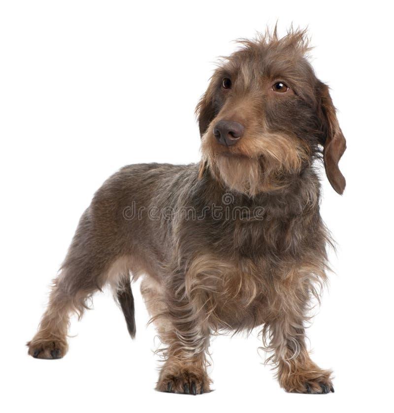 3 ans d'une chevelure de fil de dachshund brun vieux photo stock