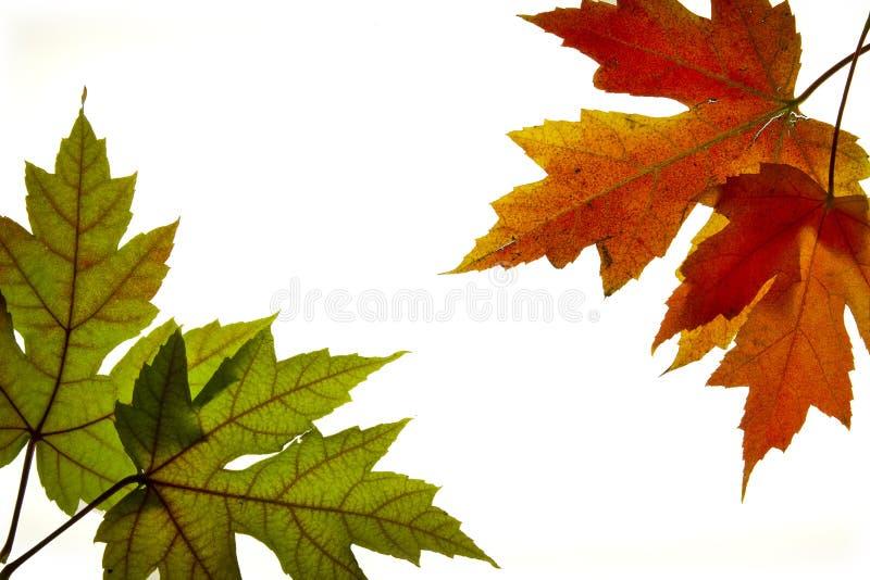 3 backlit цвета смешанным кленом листьев понижаются стоковое изображение rf