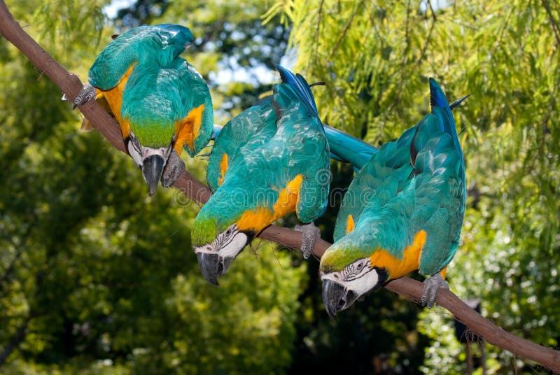 Download 3 Blue-and-yellow Macaw (Ara Ararauna) Stock Photo - Image: 11194490
