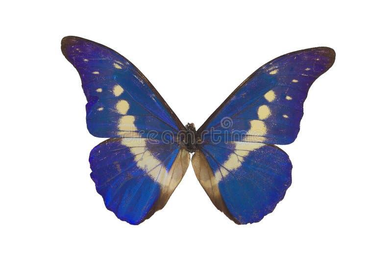 3 blues motyl obraz stock