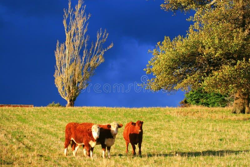 Download 3 calves stock image. Image of trees, tasmania, dark, australia - 856077