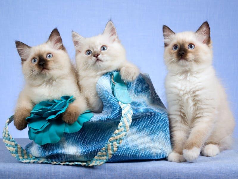 3 chatons de Ragdoll avec le sac bleu images libres de droits
