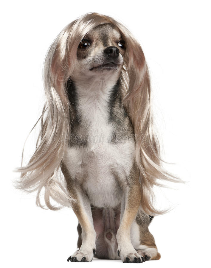 3 chihuahua włosy długich starych peruki rok fotografia royalty free
