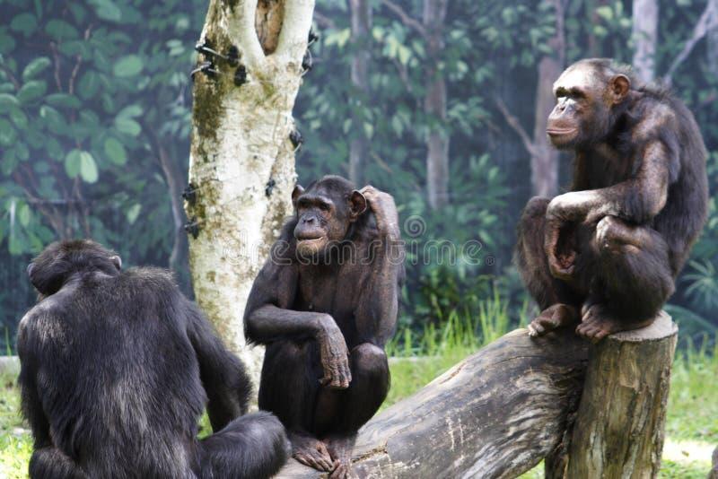 3 chimpanzés do jardim zoológico fotos de stock royalty free