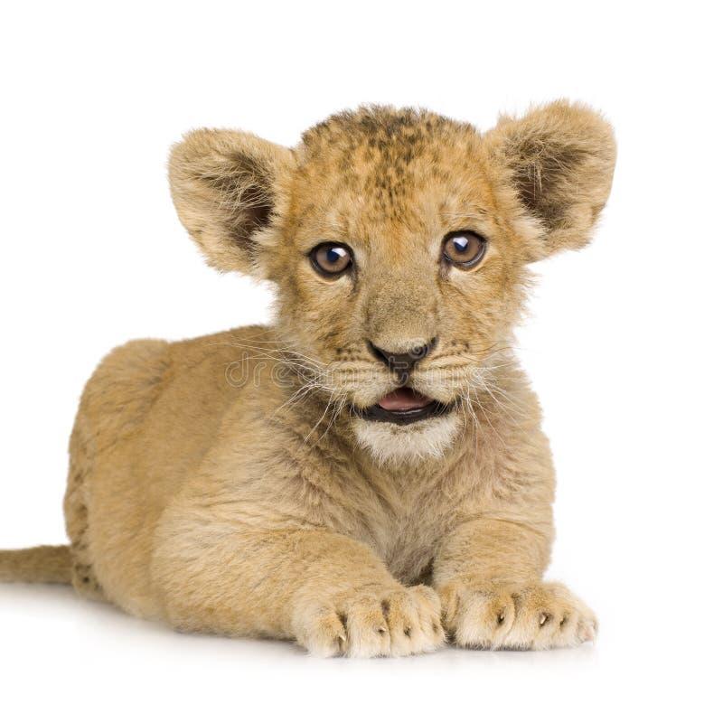 3 cub μήνες λιονταριών στοκ φωτογραφία