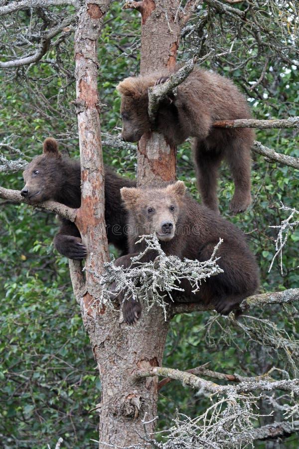 3 cubs σταχτύ δέντρο στοκ εικόνα