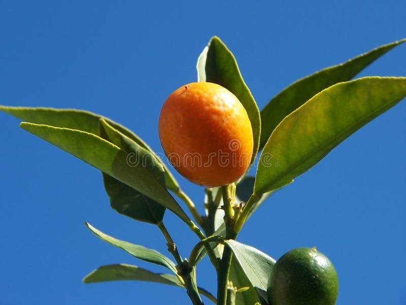 3 cumquat zdjęcia stock