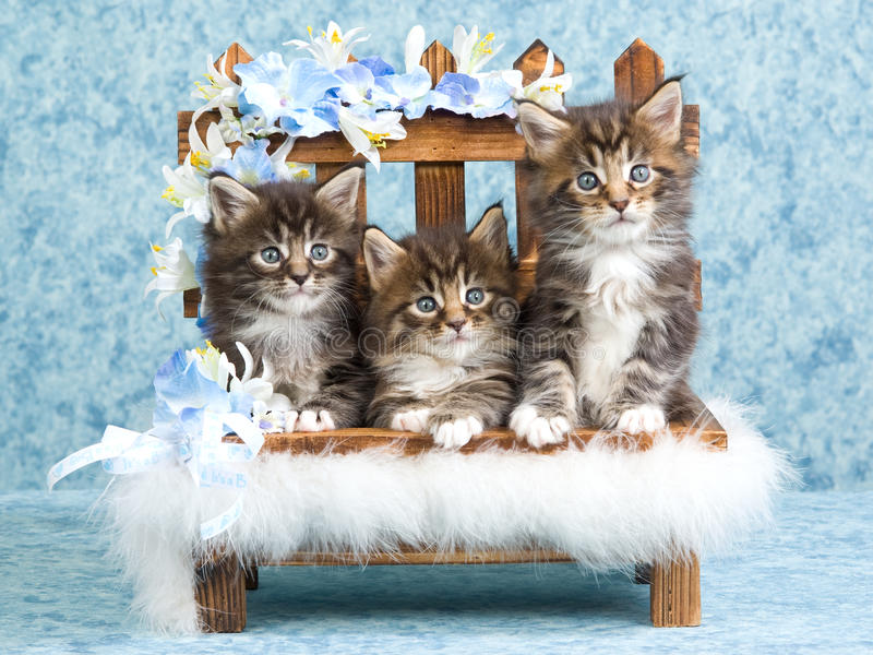 3 Cute Maine Coon Kittens On Mini Bench Stock Image