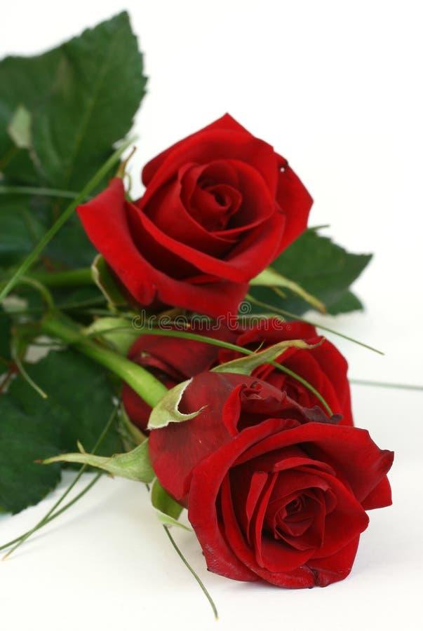 3 czerwona róża zdjęcie stock