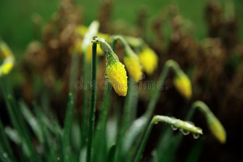 3 Daffodils royalty free stock photos