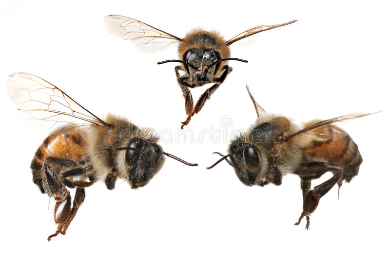 Download 3 Different Angles Of A North American Honey Bee Stock Photo - Image of african, antennae: 7625810