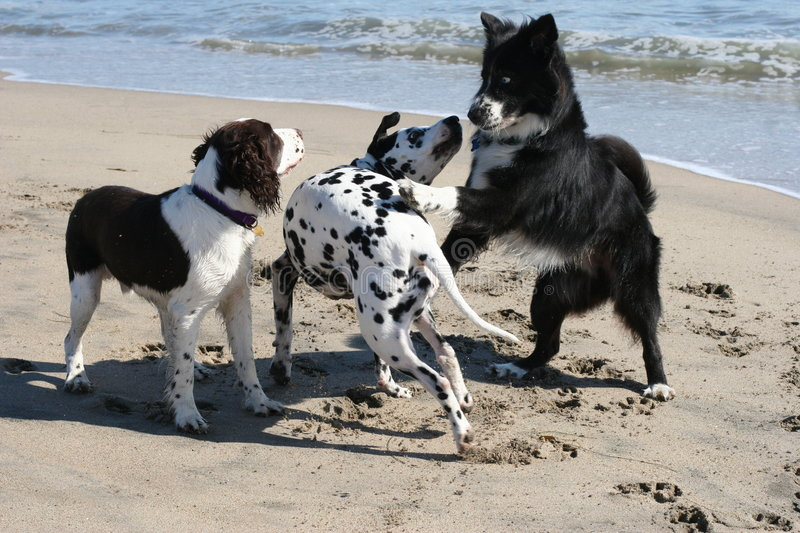 3 dogs playing stock photo