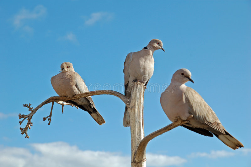 Download 3 Doves On Separate Branches Royalty Free Stock Photos - Image: 8280018