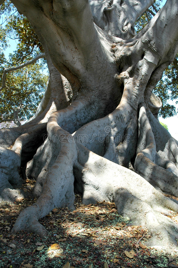 Download 3 drzewo figowe obraz stock. Obraz złożonej z liść, ampuła - 38525