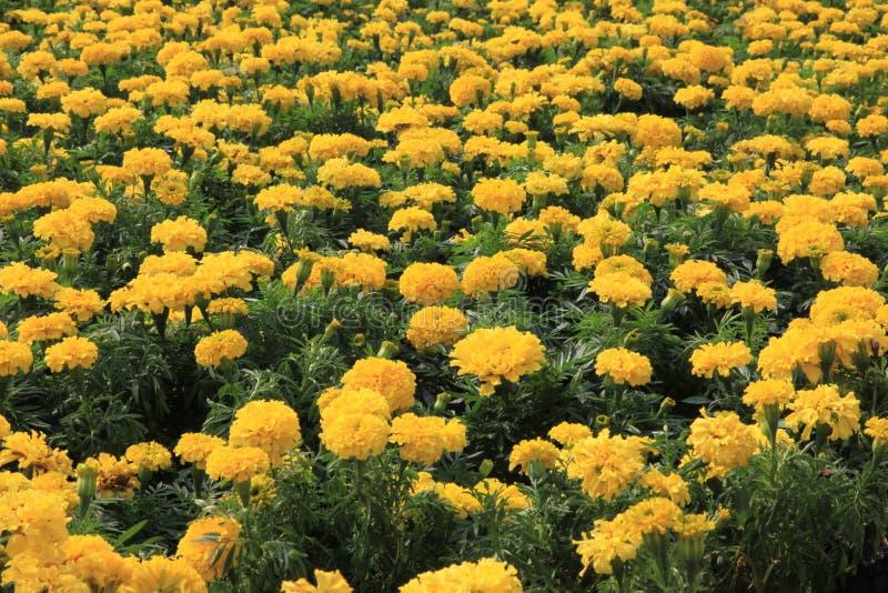 3 färgrika chrysanthemums royaltyfri bild