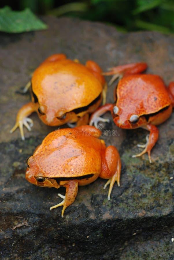 3 Fake Tomato Frog stock photo