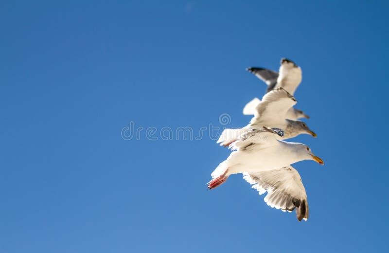 3 fliegende Seemöwen lizenzfreie stockfotografie