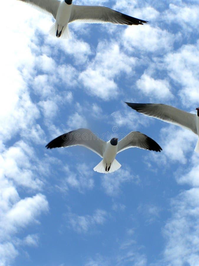 3 flygseagulls arkivbild