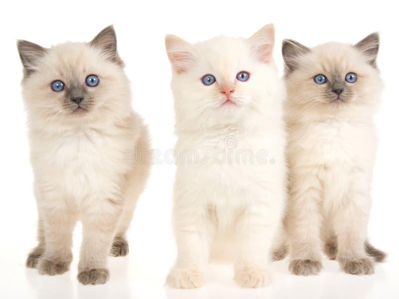 3 gatitos de Ragdoll en el fondo blanco imagenes de archivo