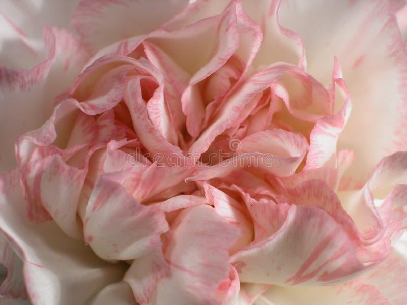 3 goździk różowe zdjęcie stock