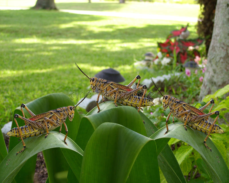 3 grasshoppers μεγάλα στοκ φωτογραφία με δικαίωμα ελεύθερης χρήσης