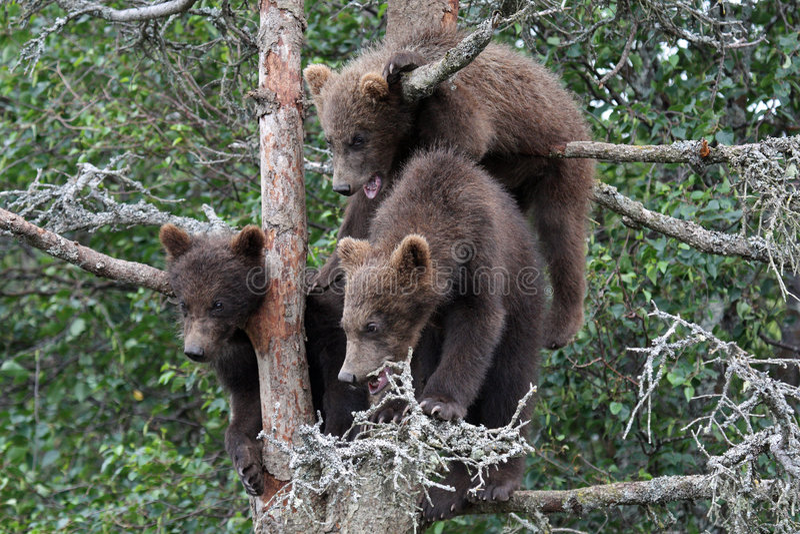3 Graubärjunge im Baum #5 stockfotos