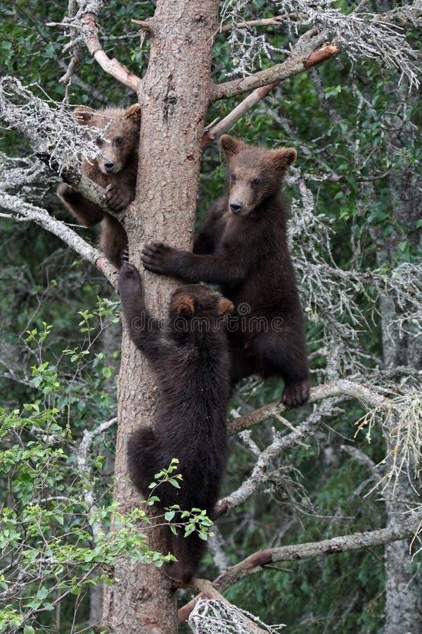 3 Graubärjunge im Baum stockfotos