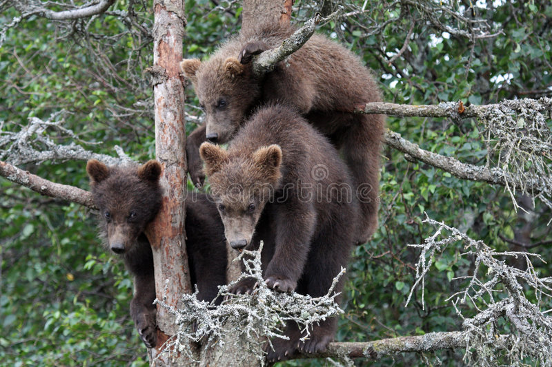 Download 3 Grizzly cubs in Tree #6 stock photo. Image of babies - 6857772