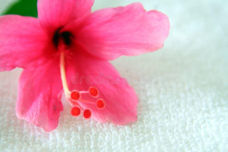3 hibiscus стоковое фото