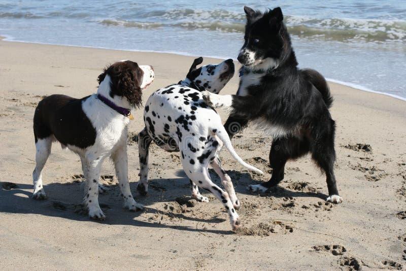 3 honden het spelen stock foto