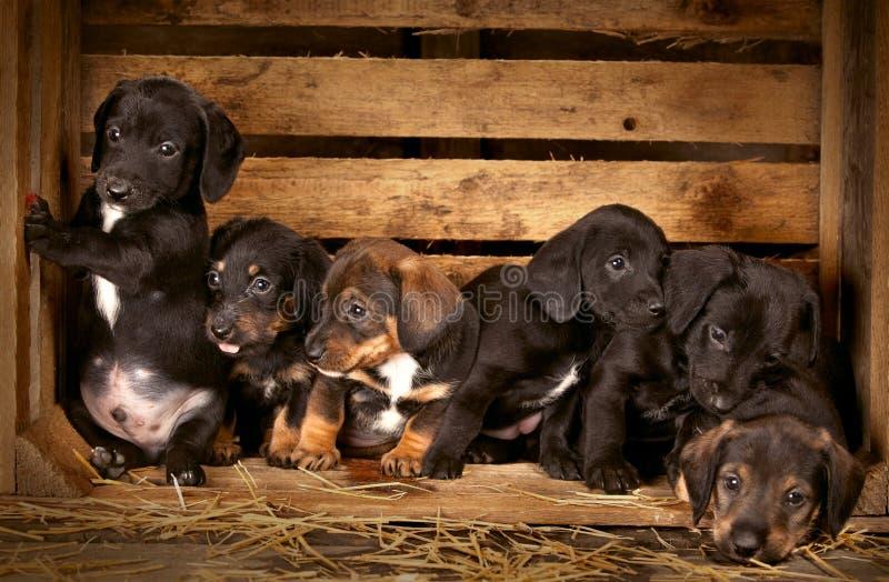 3 jamnika starych szczeniaków tydzień zdjęcia royalty free