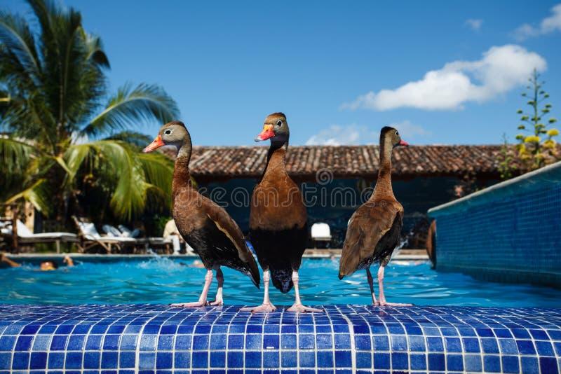 3 kaczek basenu kurortu dopłynięcia brodzenie obraz stock