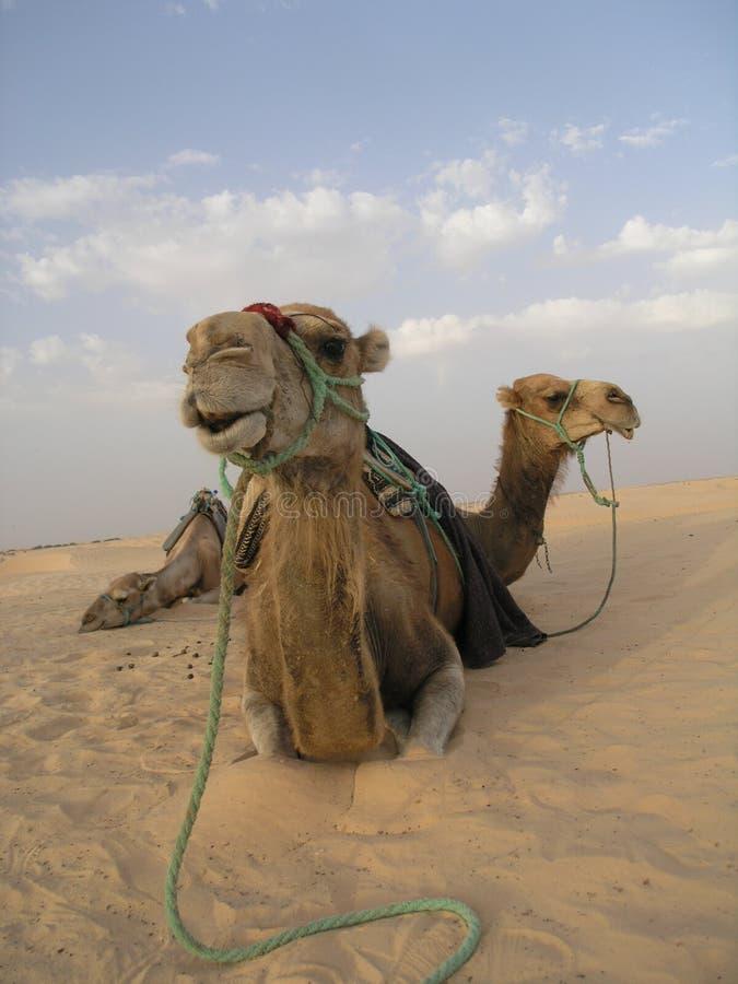 3 kamel royaltyfria bilder