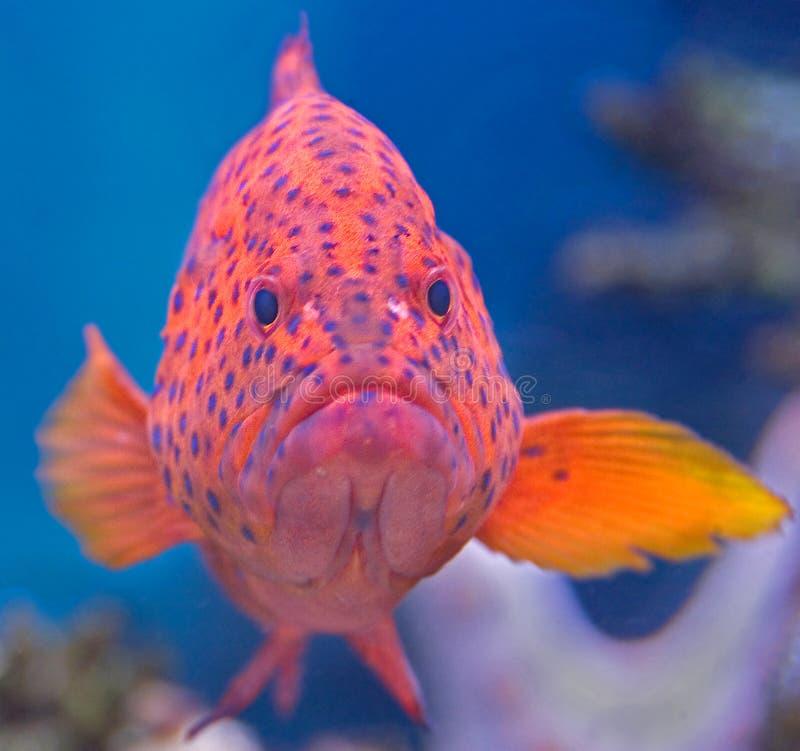 3 korali grouper fotografia stock