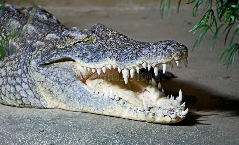 3 krokodil nile arkivbilder