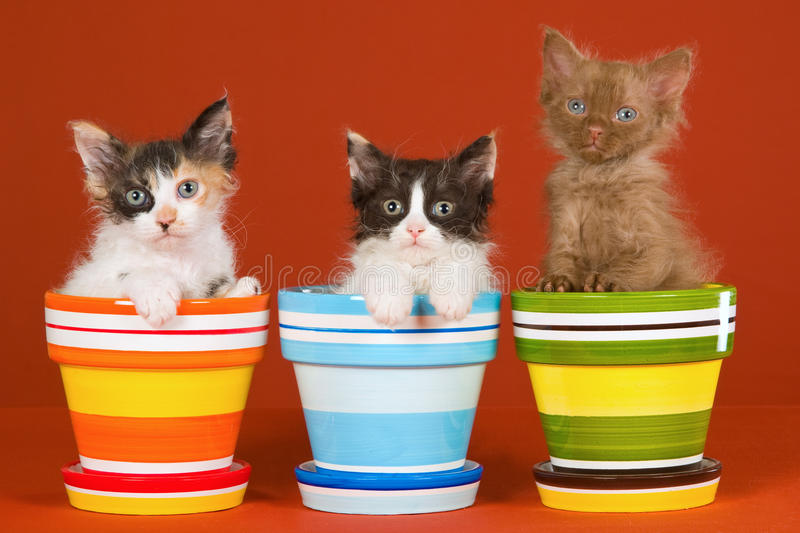 3 La Perm kittens in colorful pots. 3 cute kittens sitting inside colorful pots on orange background royalty free stock image