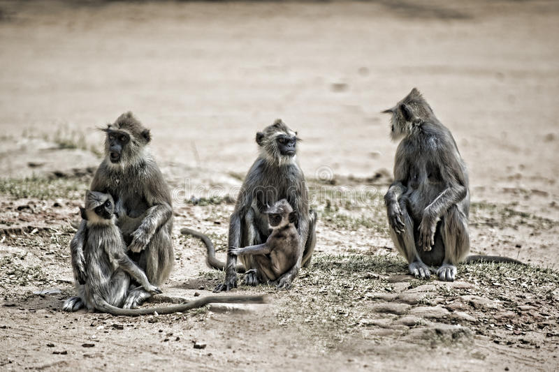 Download 3 langurs with babies stock photo. Image of serious, babies - 16827076
