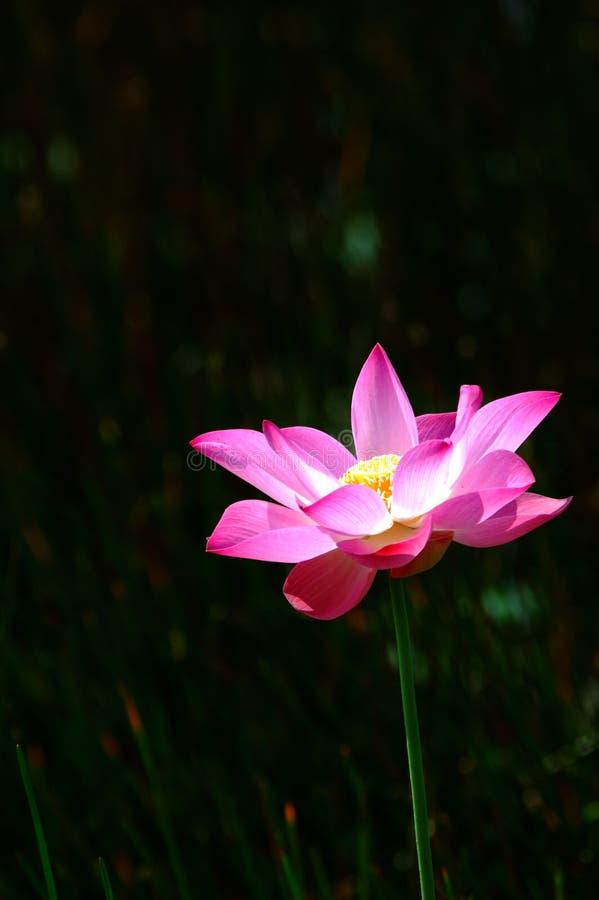 3 lotos różowe zdjęcie royalty free