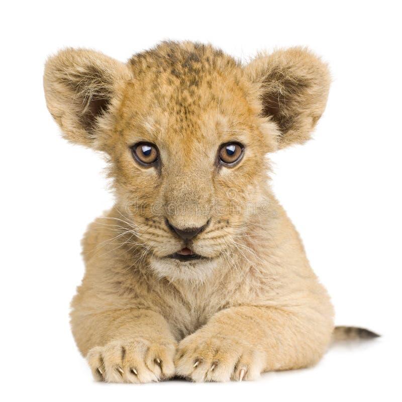 3 lwa młode miesiące obrazy stock
