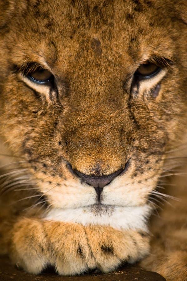 3 mesi del cub di leone fotografia stock libera da diritti