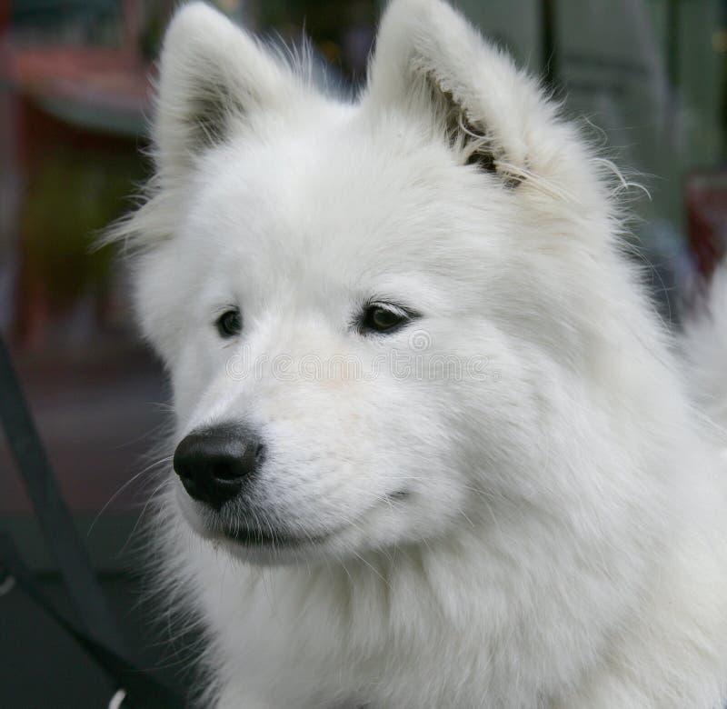 3 miłe eskimo psa. zdjęcie royalty free