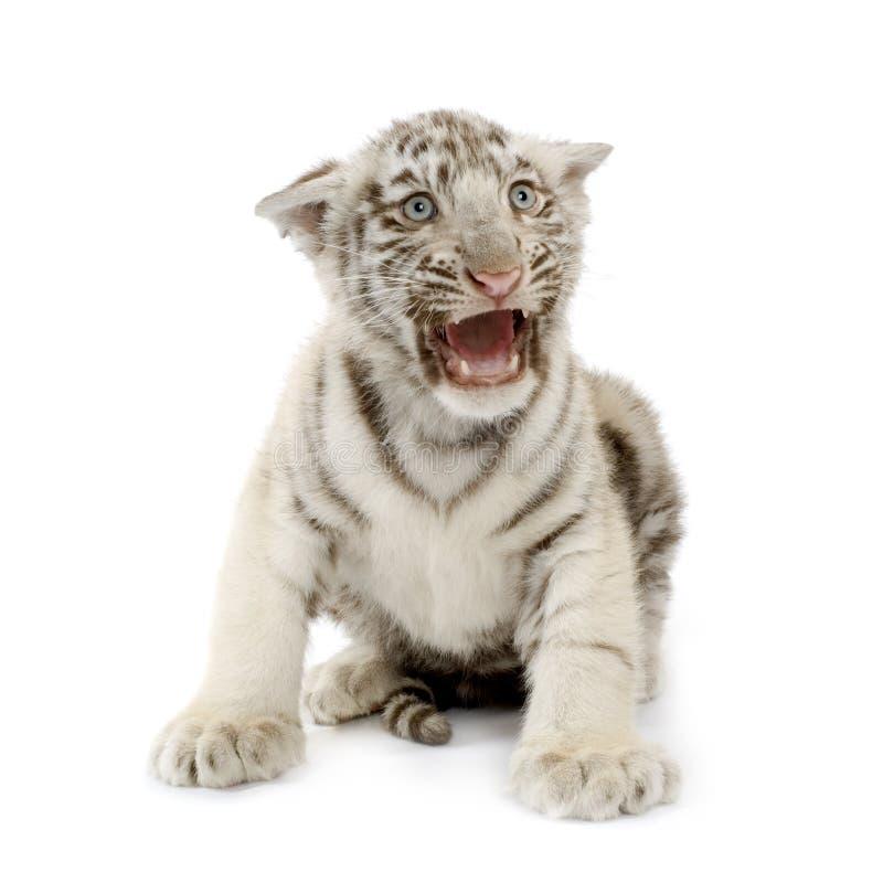 3 miesięcy młode biały tygrys obraz royalty free